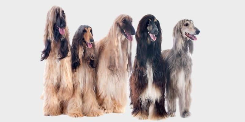 כלב אפגני