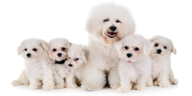כלב בישון פריזה