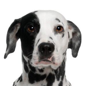 כלב דלמטי