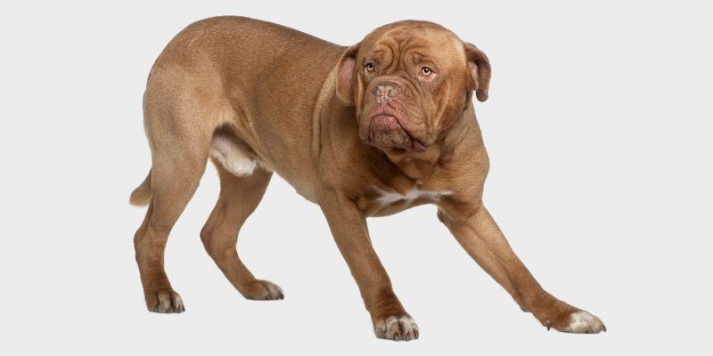 כלב דוג דה בורדו