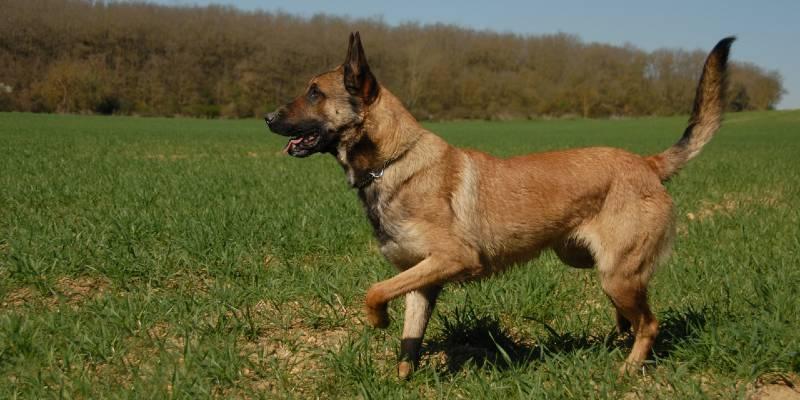 כלבי מלינואה
