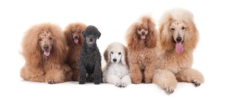 כלב פודל