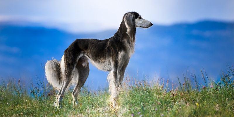 כלב סלוקי