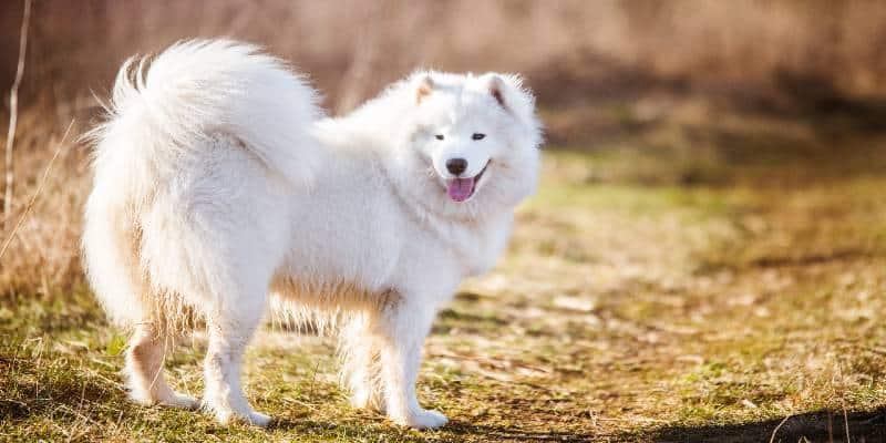 כלב סמויד