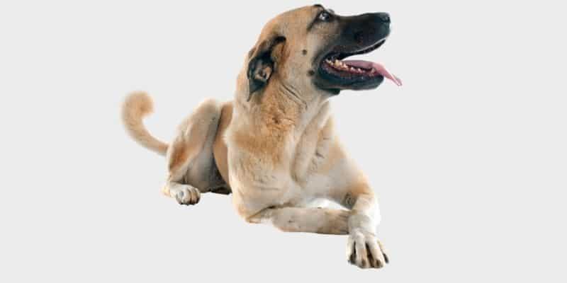 כלב רועה אנטולי