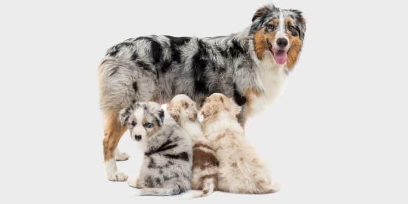 כלב רועה אוסטרלי