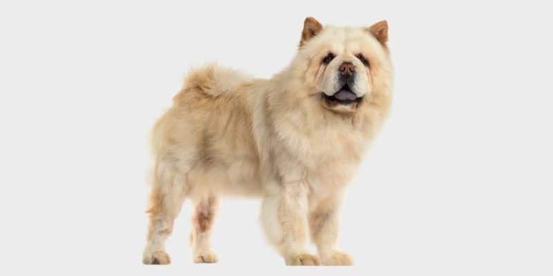 כלב צ'או צ'או