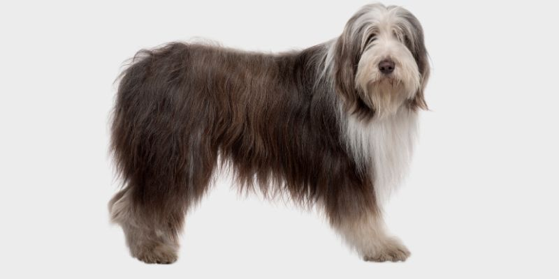 כלב קולי מזוקן