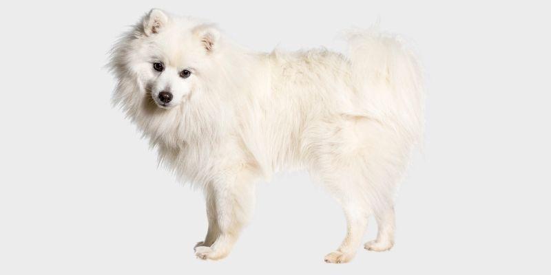 כלב שפיץ יפני