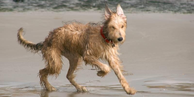 כלב לרצ'ר