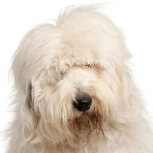 כלב צאן אנגלי עתיק