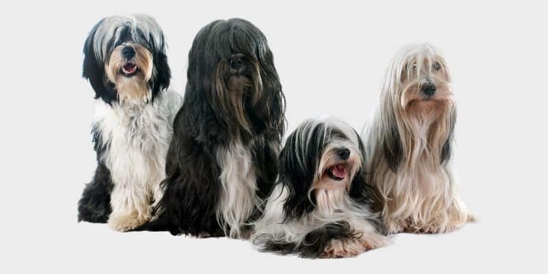 כלב טרייר טיבטי
