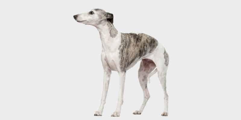 כלב וויפט