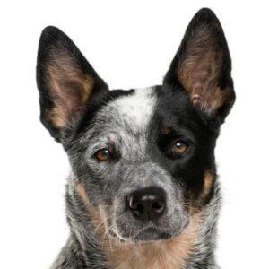 כלב בקר אוסטרלי