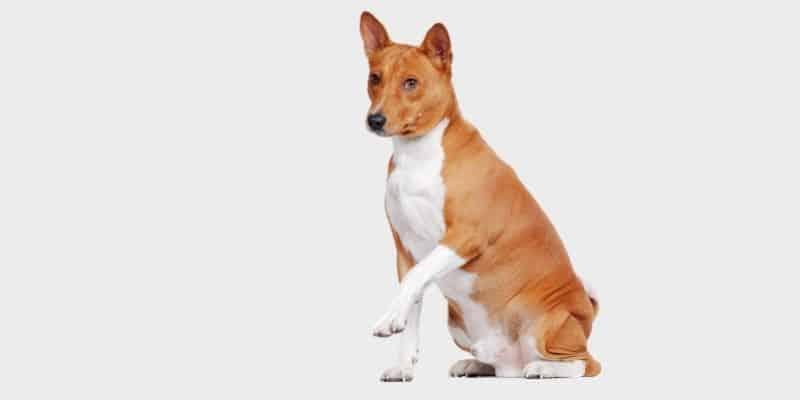 כלב בסנג'י