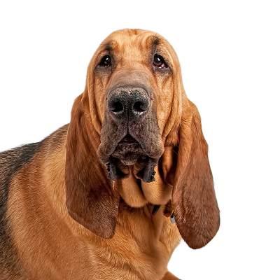 כלב דם (בלאד האונד)