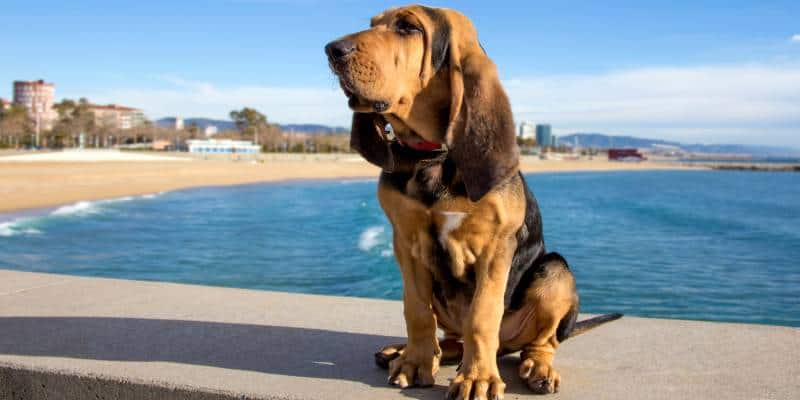 כלב בלאד האונד