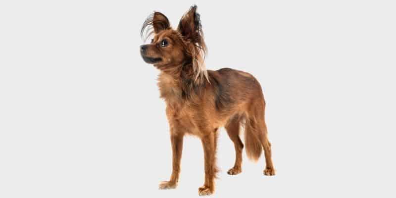 כלב טוי רוסי