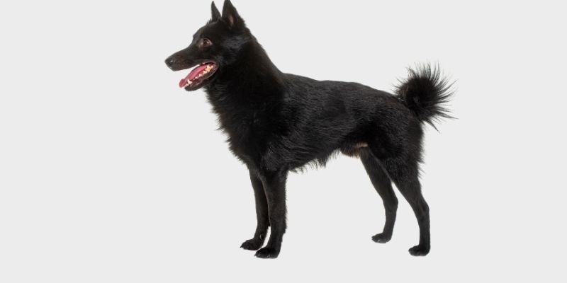 כלב סכיפרקה