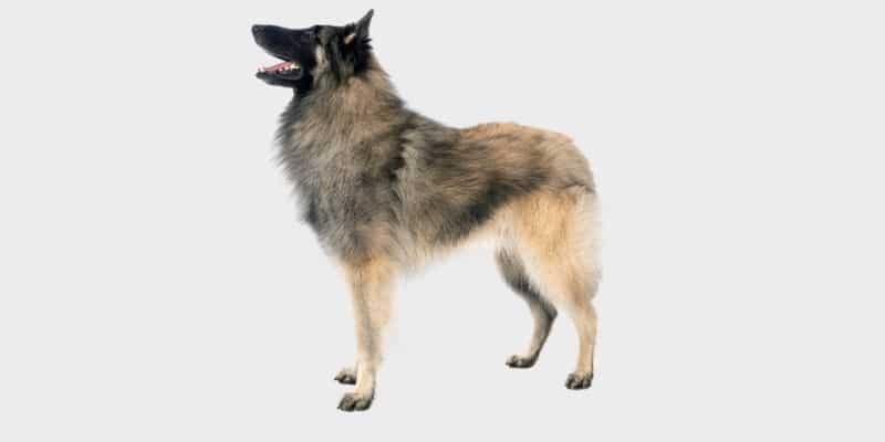 כלב טרוורן