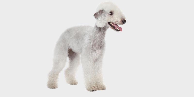בדלינגטון טרייר - bedlington terrier