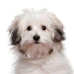 בולוני (כלב בולונז)
