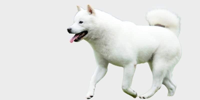 כלב הוקאידו אינו