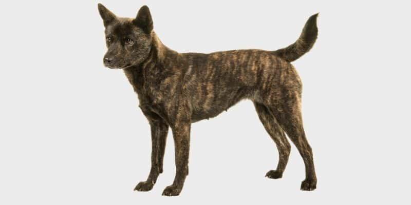 כלב קאי קן יפני