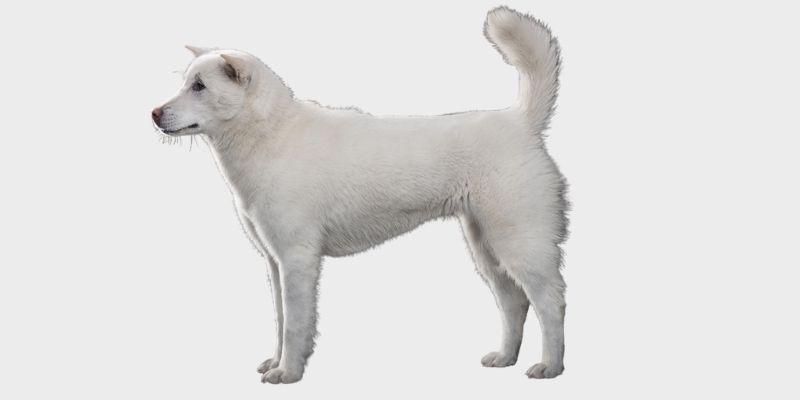 כלב קישו יפני