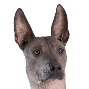 כלב מקסיקני חסר שיער