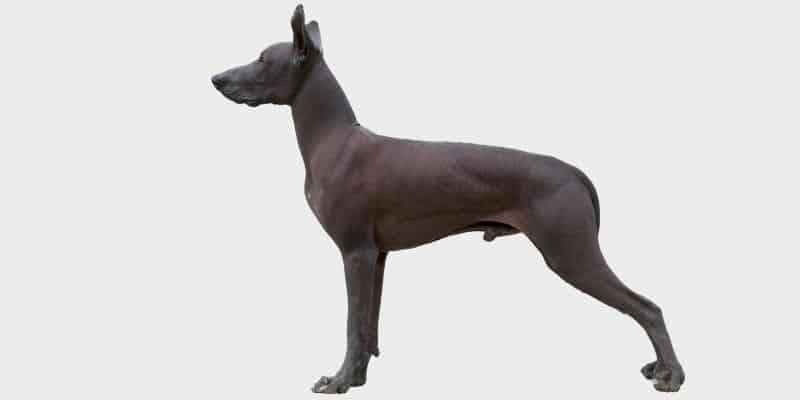 כלב מקסיקני חסר שיער (Mexican hairless dog)