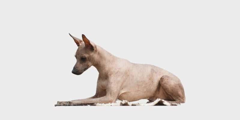כלב פרואני חסר שיער (Peruvian Inca Orchid) הוא