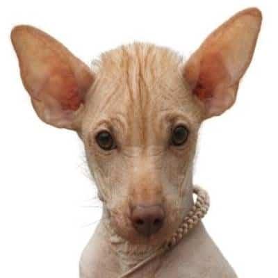 כלב פרואני חסר שיער