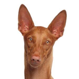 כלב פרעה