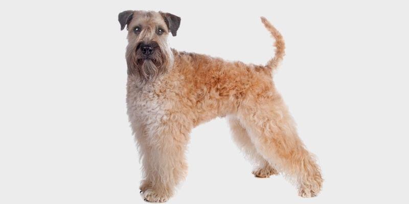 טרייר חיטה רך פרווה (Soft-coated Wheaten Terrier)