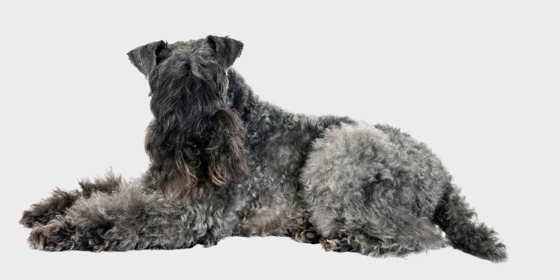 קרי בלו טרייר (Kerry Irish Blue Terrier)