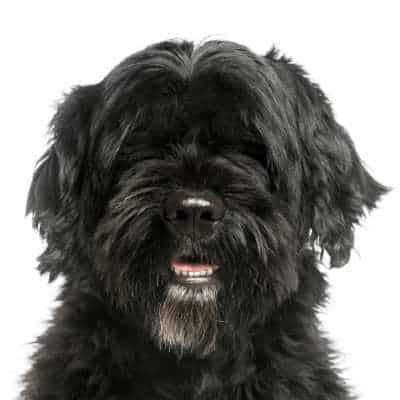 כלב מים פורטוגזי