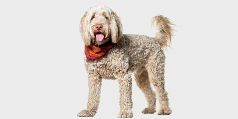 כלב מים פורטוגזי (Portuguese Water Dog)