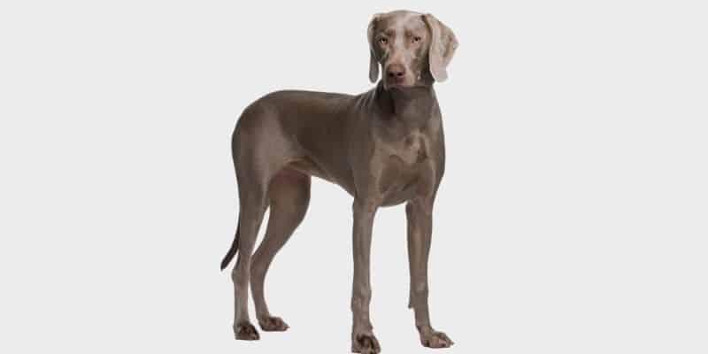 כלב ויימרנר Weimaraner