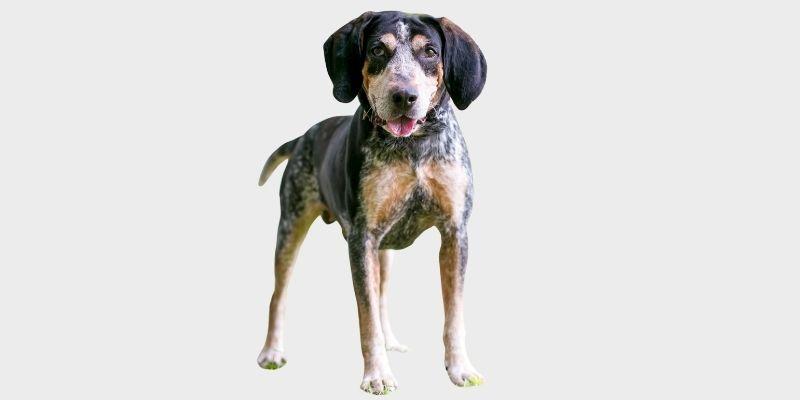 בלוטיק קונהאונד (Bluetick Coonhound)