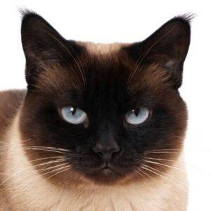 חתול סיאמי