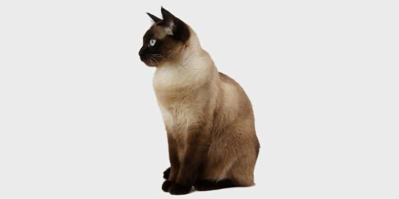 חתול סיאמי (Siamese cat)