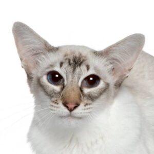 חתול בלינזי