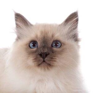 חתול בירמן