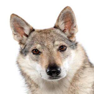 רועה צ'כי (זאב צ'כי)