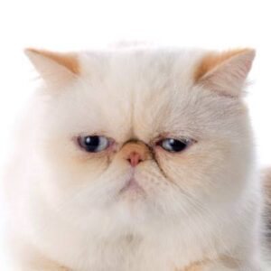 חתול אקזוטי קצר שיער