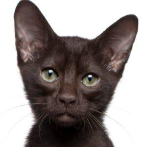 חתול האוונה