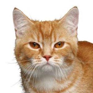 חתול מנצ'קין