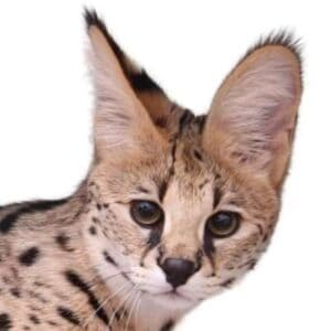 חתול סוואנה