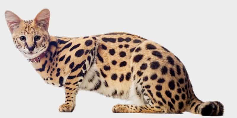 סרוואל (Serval)